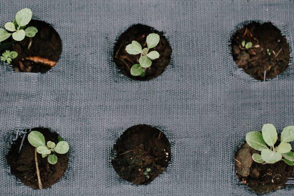 seedlings in landscape fabric